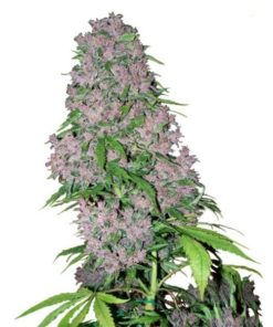 Dos-Si-Dos Clones-Purple-Bud-Feminized.jpg